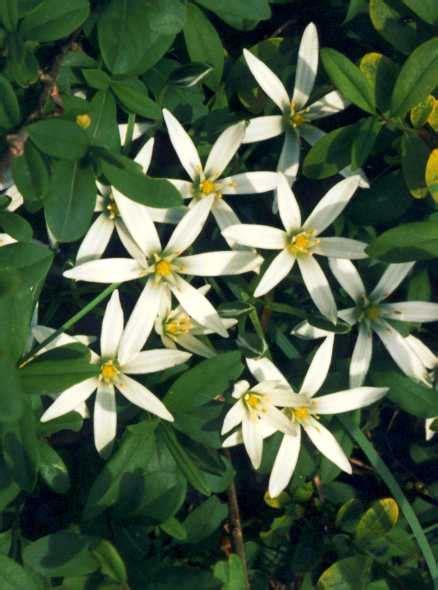 stella di betlemme fiori di bach floriterapia fiori di bach of bethlehem