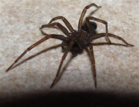 are house spiders dangerous giant house spiders at spiderzrule the best site in the world about spiders