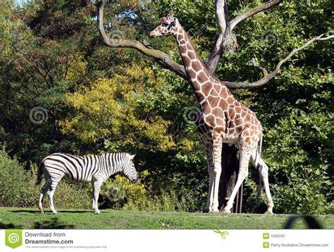 imagenes de jirafas y zebras jirafa cebra imagen de archivo imagen 1533191