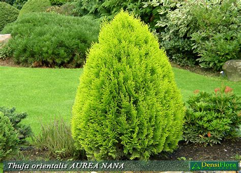 Thuja Golden Smaragd 201 by Thuja Orientalis Tuja V 253 Chodn 225 Quot Aurea Nana Quot Ihličnat 225