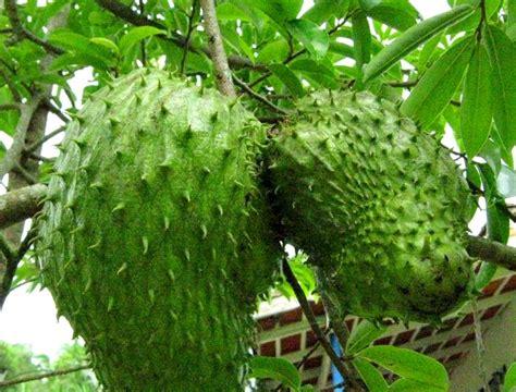 Bibit Jahe Merah Di Aceh jual bibit sirsak di tulungagung jual bibit tanaman unggul