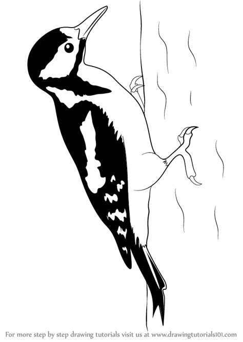 Step by Step How to Draw a Great Spotted Woodpecker