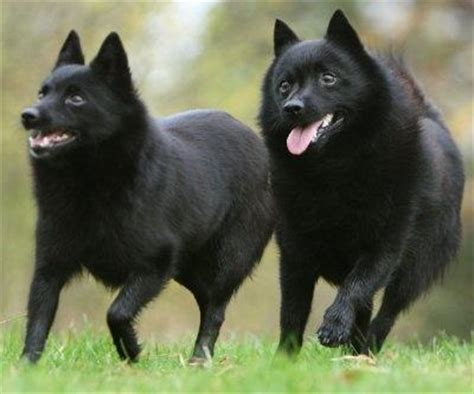 volpino italiano vs pomeranian what are all the other types of dogs that are similar to a husky quora