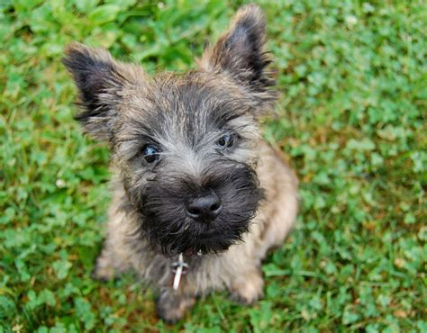 ta puppies cairn terrier dogs breeds pets