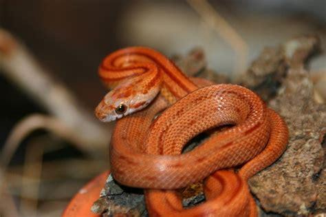 imagenes de serpientes oscuras serpiente roja im 225 genes y fotos