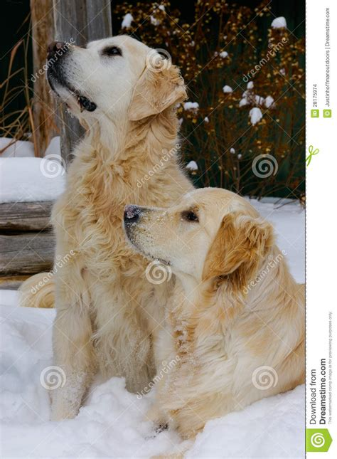 golden retriever puppies in snow golden retriever dogs in snow stock images image 28175974