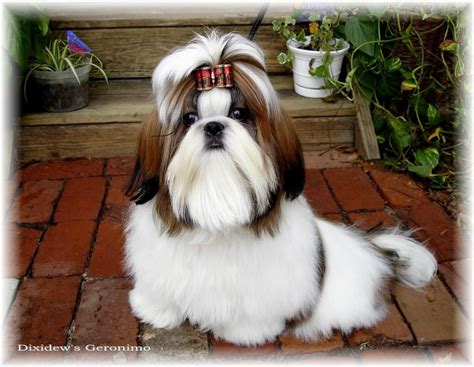 ohio shih tzu breeders miniature shih tzu puppies for sale in ohio
