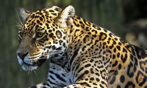 What Does A Jaguar Eat In The Tropical Rainforest Tropical Forest Jimena Thinglink