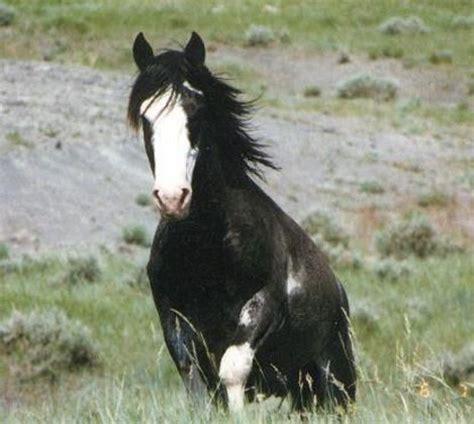 black mustang horse amazing wild black white blazed mustang horses