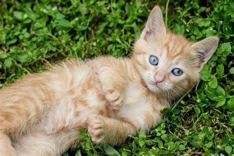 smallest breeds the smallest cats in the world www pixshark images galleries with a bite