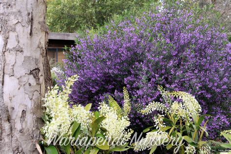 flowering shrubs for clay soil plants for clay soils plant and revegetation