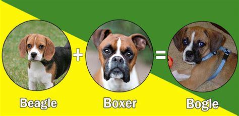 rottweiler labrador cross breed most popular boxer cross breeds designer breeds