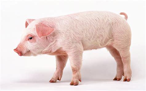 Tempat Makan Ternak Babi fakta tentang daging babi info menarik unik