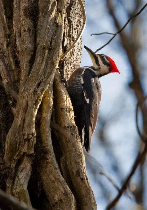 69 best images about pileated woodpecker on pinterest