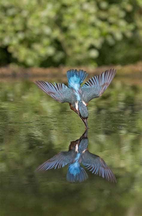 in photos dive bombing kingfisher s underwater hunt