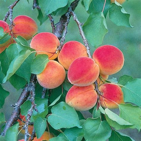 apricot fruit trees wilson delicious apricot apricot trees stark bro s