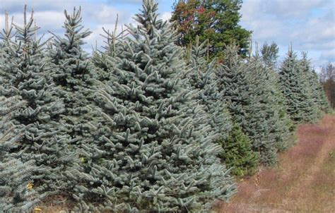 majestic spruce christmas tree blue spruce tree lisamaurodesign