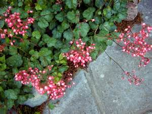 coral bells flowers how to grow coral bells