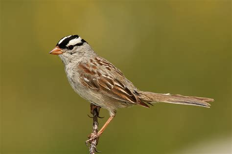 file white crowned sparrow jpg wikipedia