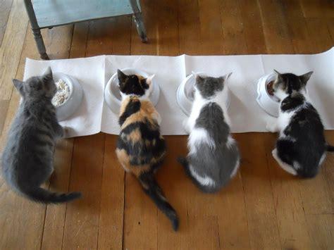cibo per gatti fatto in casa cibo per gatti fatto in casa cosa preparare dogalize