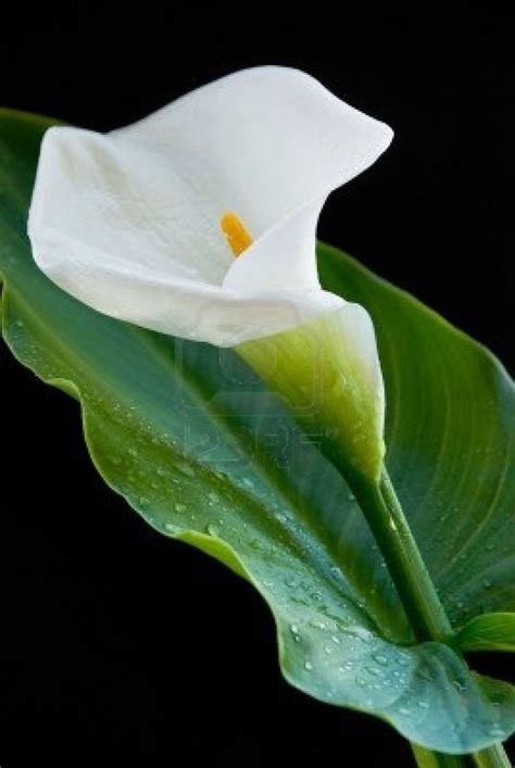 calla lily with water droplets fleurs pinterest