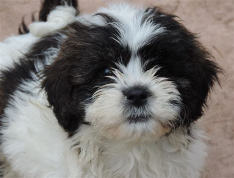 puppies now shih tzu puppies for sale ready now leeds west pets4homes