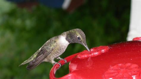 what do hummingbirds eat reference com