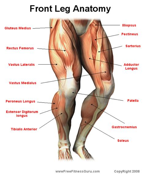 diagram back muscles photos tendons of the leg anatomy diagram charts