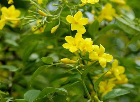 fiori significato famiglia gelsomino linguaggio dei fiori e delle piante di gelsomino