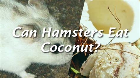 can eat coconut can hamsters eat coconut pet consider
