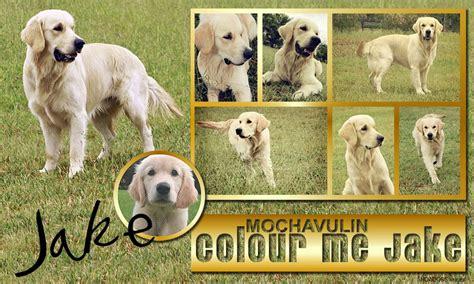 mochavulin golden retrievers mochavulin colour me jake