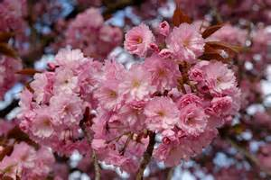 file prunus serrulata kanzan blossom jardin des plantes