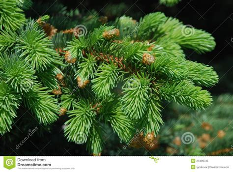 spruce tree boughs royalty free stock photo image 24496735