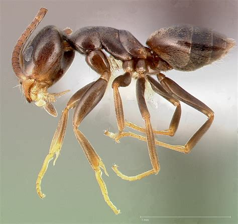 Odorous House Ants by Odorous House Ant Ant Pest By Terminix