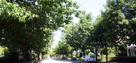 oak tree rubber st greening our cities and towns