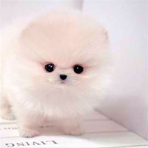 white pomeranian puppies 25 best white pomeranian ideas on