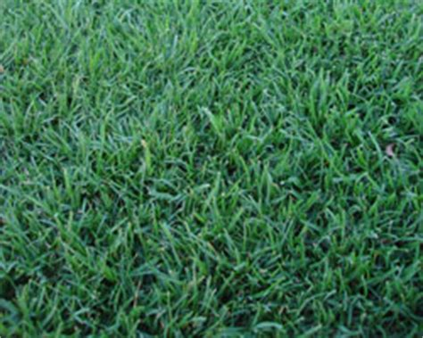 blue couch grass seed sapphire palmetto buffalo turf empire zoysia grass