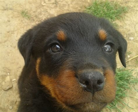 how to house a rottweiler puppy the 15 most important rottweilers of 2015