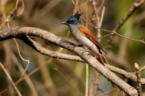Verditer Blue by Top 10 Places To Go Birdwatching Pune Nature Infocus