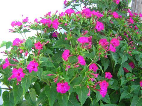 mirabilis jalapa images useful tropical plants