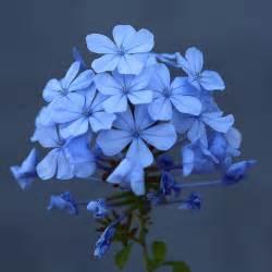j77a1556 light blue flowers flickr photo sharing