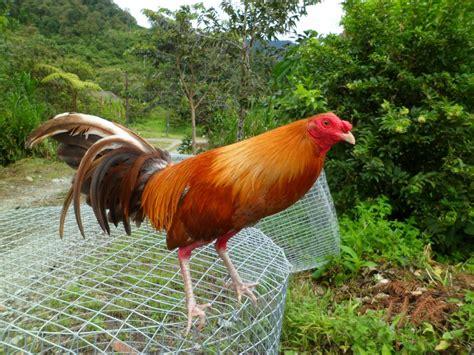 chelo papeleta vs sainel videos de gallos mi mejor gallo gallos de coleccion