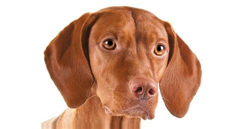 vizla puppies vizsla breed information american kennel club