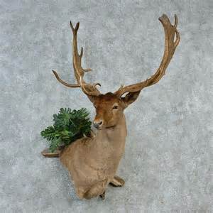 wall pedestal deer mount fallow deer wall pedestal shoulder mount 12822 the