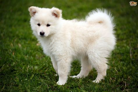 lapphund puppies lapphund breed information facts photos care pets4homes