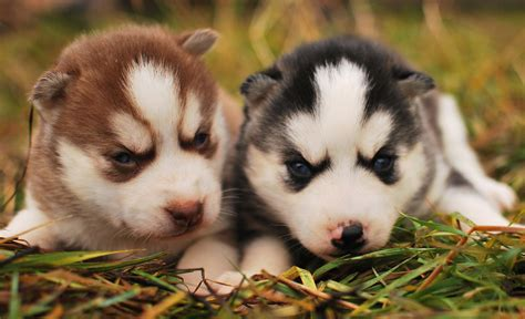 huskies pomeranians pomeranian husky blue hd desktop wallpaper