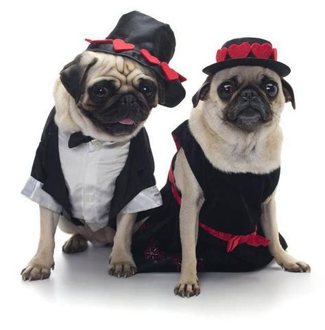 pugs in dresses doggone proclamations of for your the telegram the