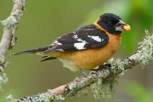 black headed grosbeak pheucticus melanocephalus
