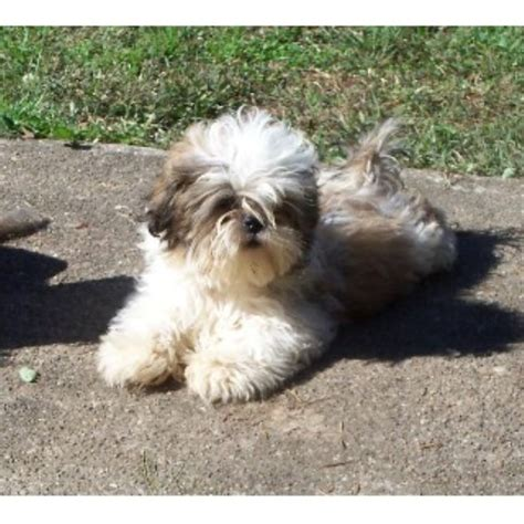 shih tzu rescue ohio amanda s shih tzu shih tzu breeder in crown city ohio listing id 21933
