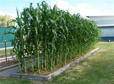 how to grow corn in your backyard home grown sweet corn you bet your garden whyy